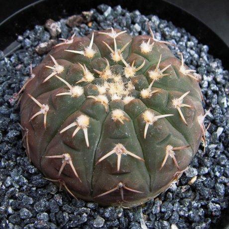 Sany0231--platygonum--WR 224A--Koehres seed