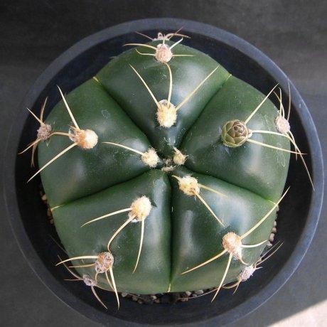 Sany0003--horstii-LB 923--Minas de Camaqua --Bercht seed