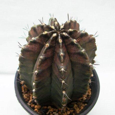 Sany0057--mihanovichii v filadelfiense--Rowland seed 2084