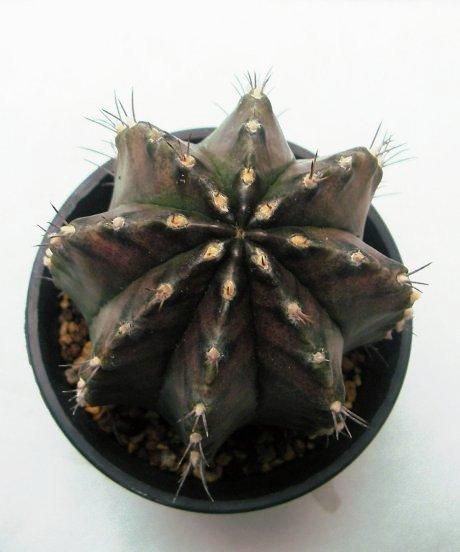 Sany0059a--mihanovichiii v filadelfiense--Rowland seed