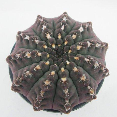 Sany0219--quehlianumv kleinianum--Piltz seed 2303