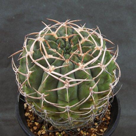 Sany0173--catamarcense fa ensispinum--OF 27-80--Piltz seed 2645