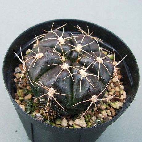 Sany0116--fleischerianum--LB 0021--ex Eden 15475