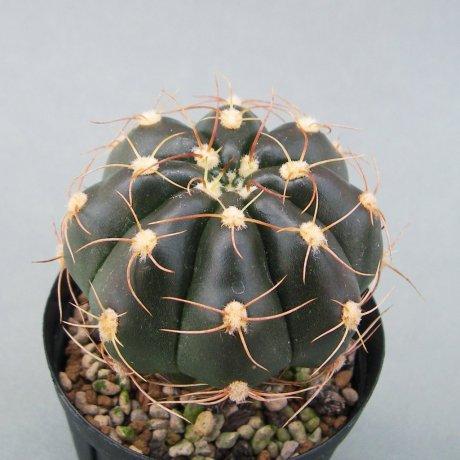 Sany0118--fleischerianum--HU 304---Piltz seed 1060