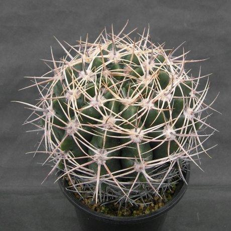 Sany0186--bicolor--piltz seed 3025--ex Houmei en