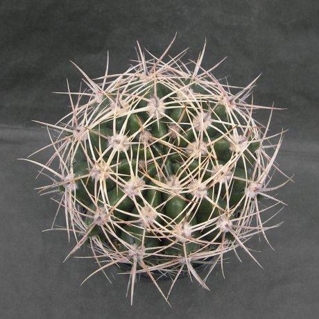 SANY0189--bicolor--piltz seed
