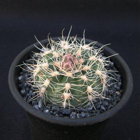 Sany0152--bruchii--GN 232-718--Calamuchita Cordoba 1200m--ex Eden 22229-
