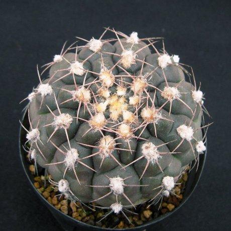 Sany0081--alboareolatum--P 221--Koehres seed