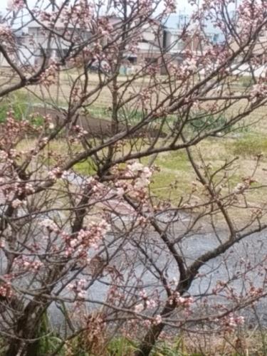 2016-3桜