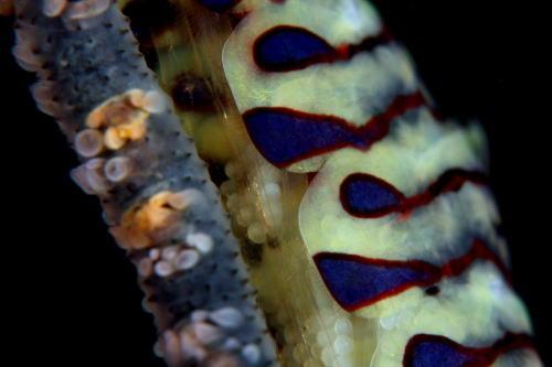ゴルゴニアシュリンプ メス(卵)