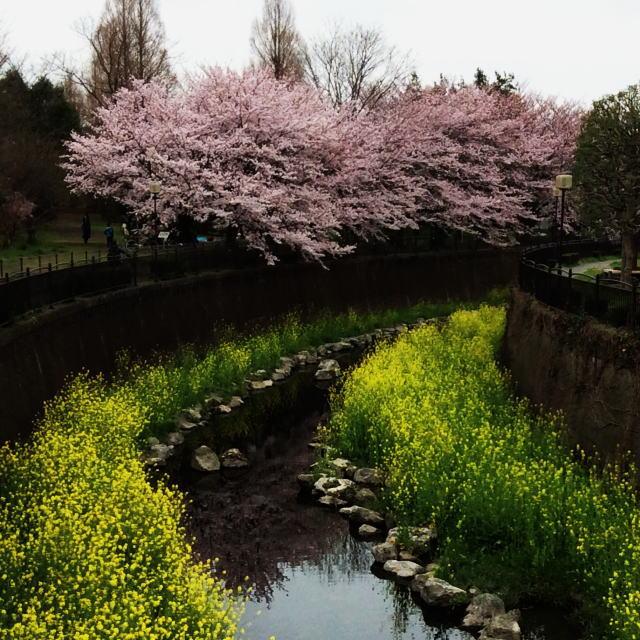 仙川の桜1