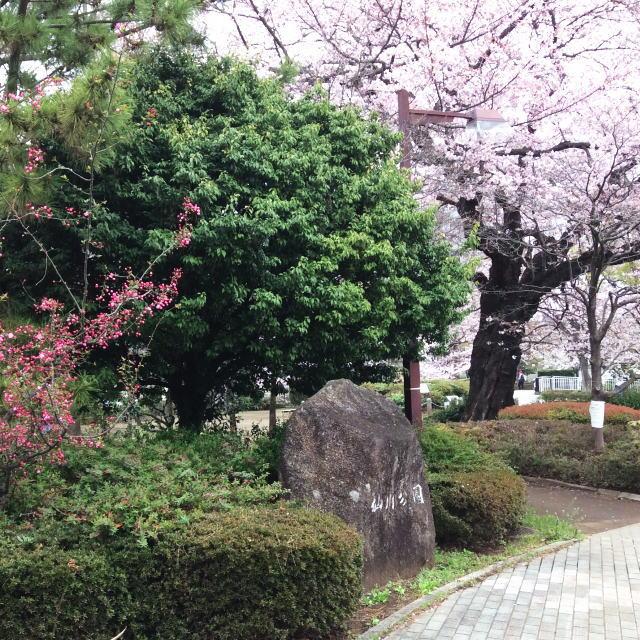 仙川の桜3