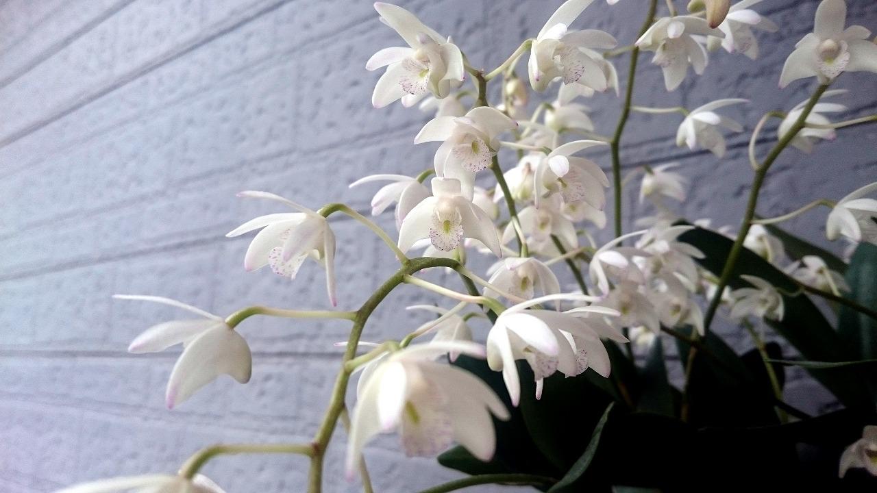 20160319-DendrobiumKIngianum-X02.jpg
