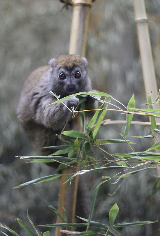 '15.12.1 grey gentle lemur 8504