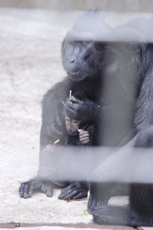 '15.12.2 celebes crested macaque 9025