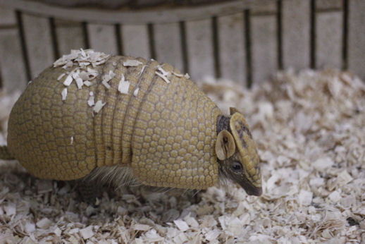 '15.12.1 southern three-banded armadillo 8726