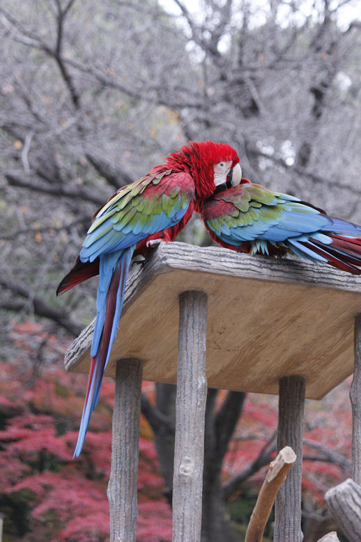 '15.12.2 green-winged macaw 9195