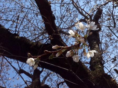 S20160326桜ヶ丘幼稚園の桜