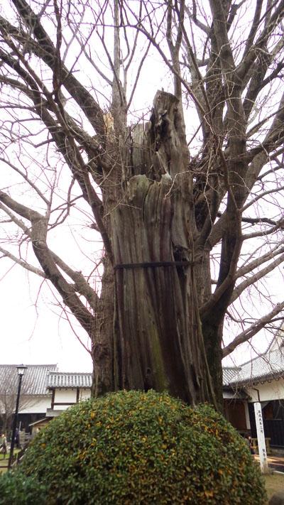 熊野神社のイチョウ