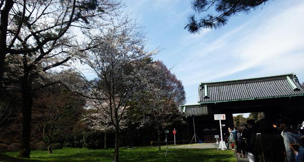 乾門近くの桜