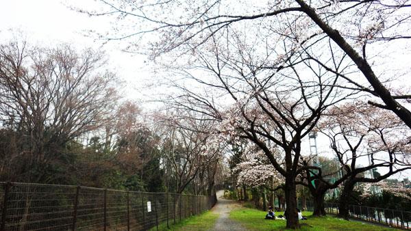 玉川上水遊歩道の桜_edited-1
