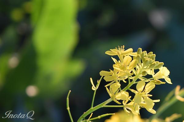 夕日の菜の花00