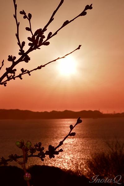 桜のつぼみと夕日の輝き