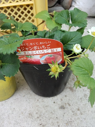20160322_いちご6