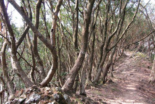 ウバメガシ純林
