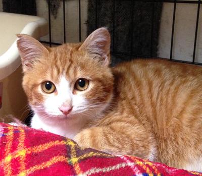 子猫の部では、茶白の「シマくん」4ヶ月位が参加します。