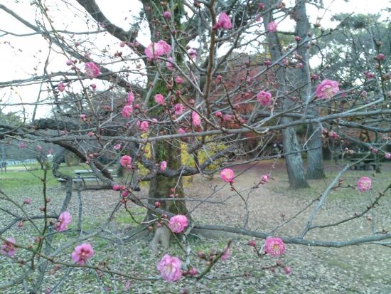151214御所さんぽ①梅の花