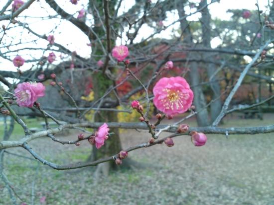 151214御所さんぽ②梅の花