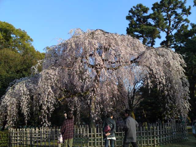 160328御所さんぽ①糸桜