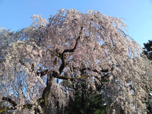 160328御所さんぽ②糸桜