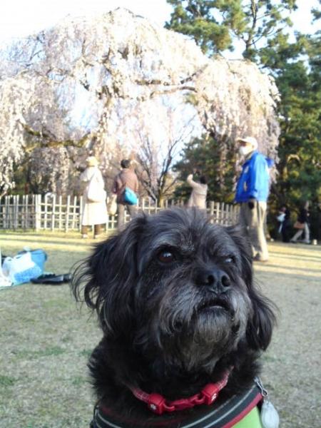 160328御所さんぽ③糸桜とふうた