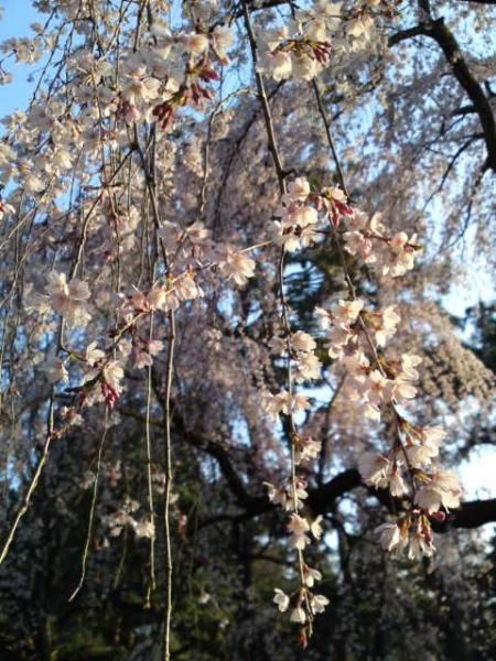 160328御所さんぽ④糸桜
