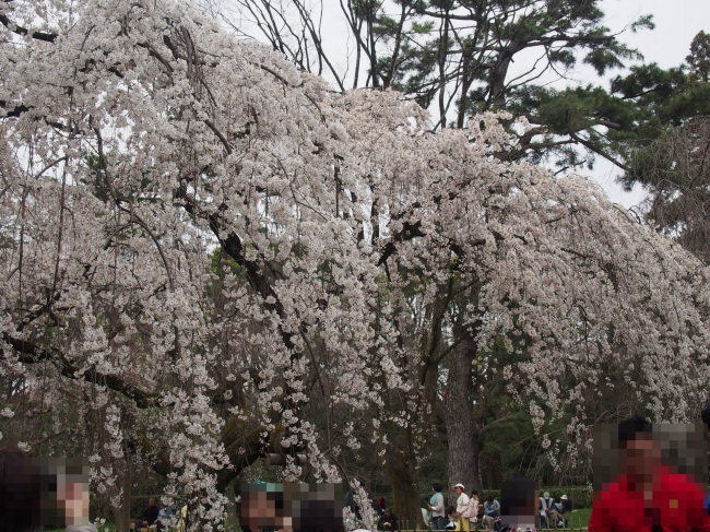 160329御所さんぽ③御所北枝垂れ桜