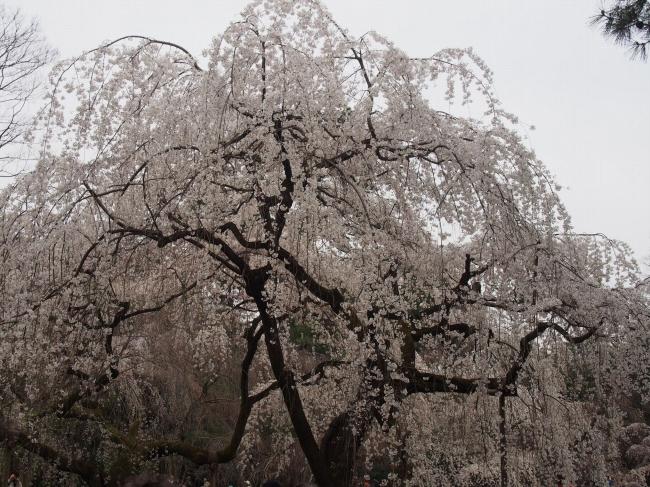 160329御所さんぽ①御所北枝垂れ桜