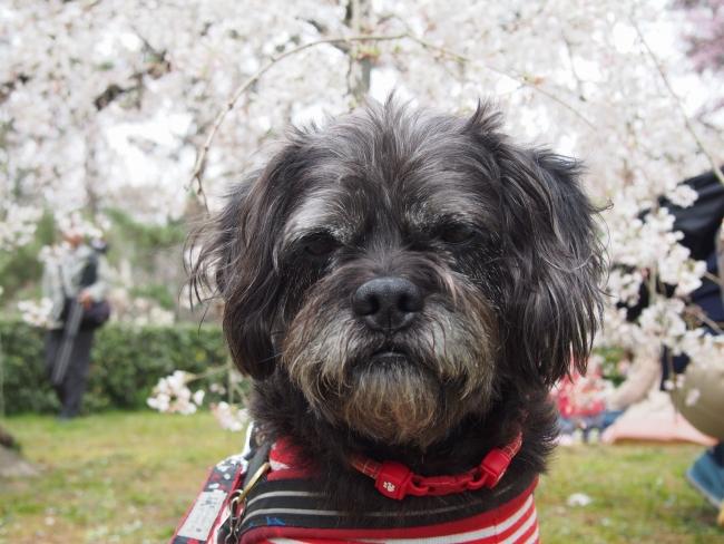 160329御所さんぽ⑤御所北枝垂れ桜とふうた