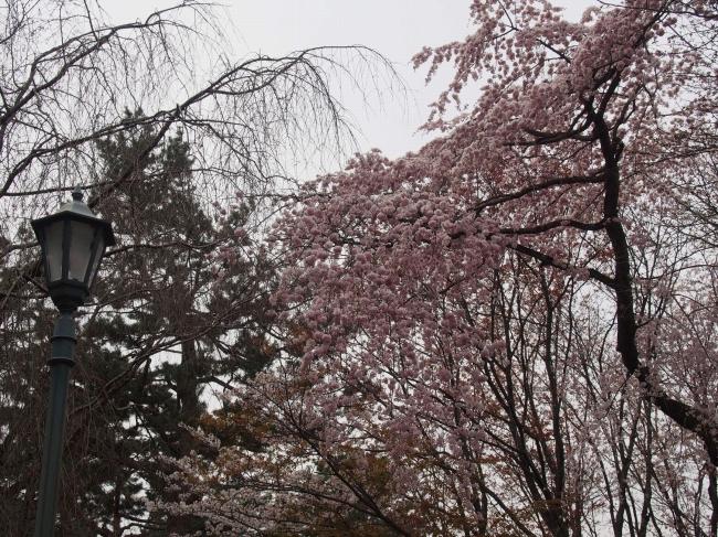 160329御所さんぽ②御所北枝垂れ桜