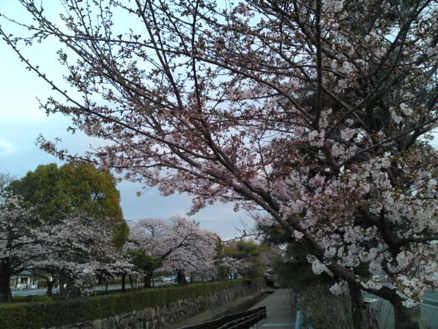 160402朝さんぽ①堀川の桜