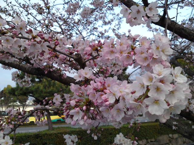 160402朝さんぽ②堀川の桜