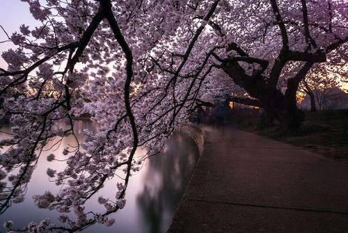 spring-japan-cherry-blossoms-national-geographics-2110.jpg