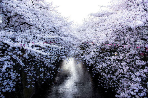 spring-japan-cherry-blossoms-national-geographics-7117.jpg