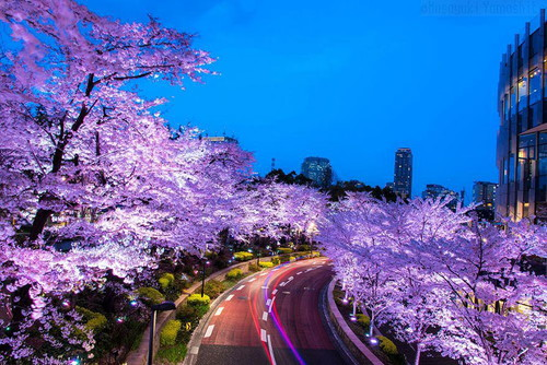 spring-japan-cherry-blossoms-national-geographics-911.jpg