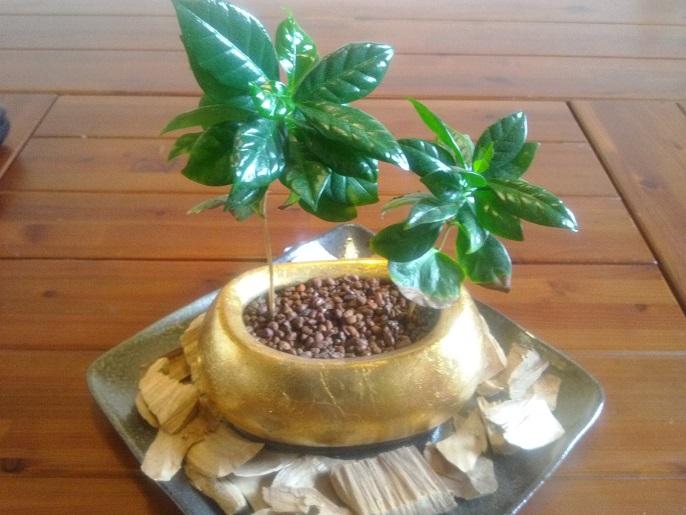 コーヒーの木植替え 2016春A