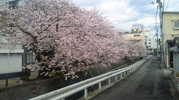 2016桜宇和島