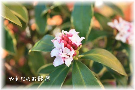 2016 沈丁花①