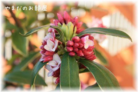 2016 沈丁花②