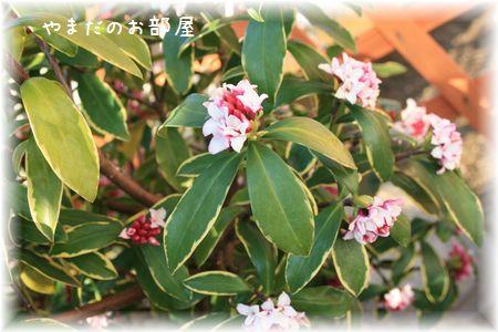 2016 沈丁花③
